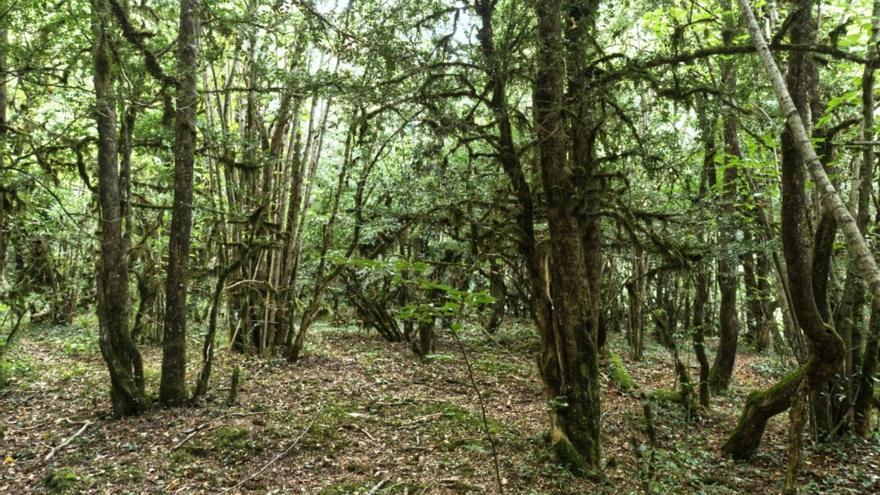 Aragón quiere proteger un roble de 500 años y una arboleda en Broto