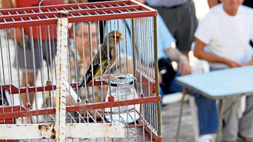 Gezüchtete Singvögel haben einen Akzent