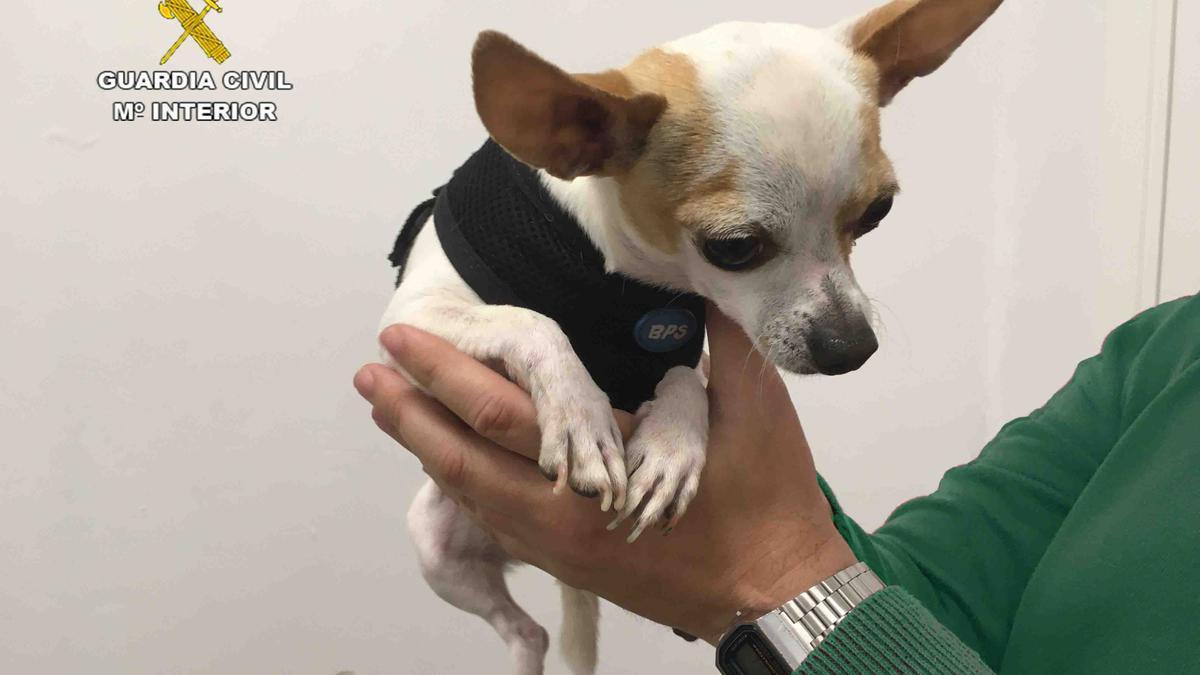 El pequeño chihuahua robado en Castelldefels y recuperado en Palma.