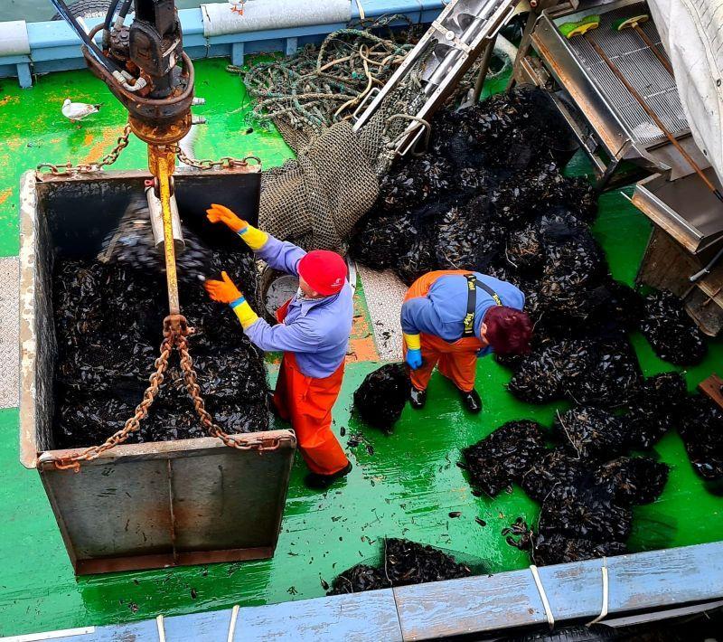 El mejillón para el mercado de fresco (depuradoras) llega a puerto en sacos.