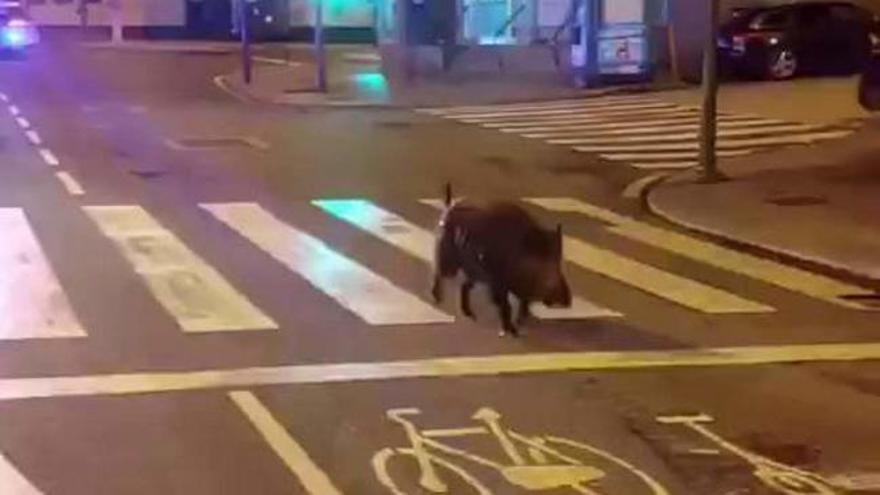Un jabalí se pasea de madrugada por varias calles de A Coruña