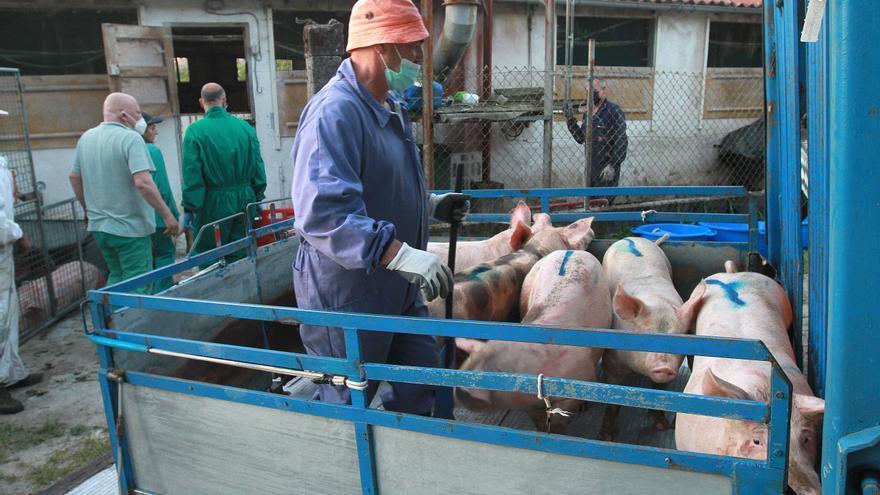 Decenas de cerdos, atrapados bajo los escombros de su granja en Ourense