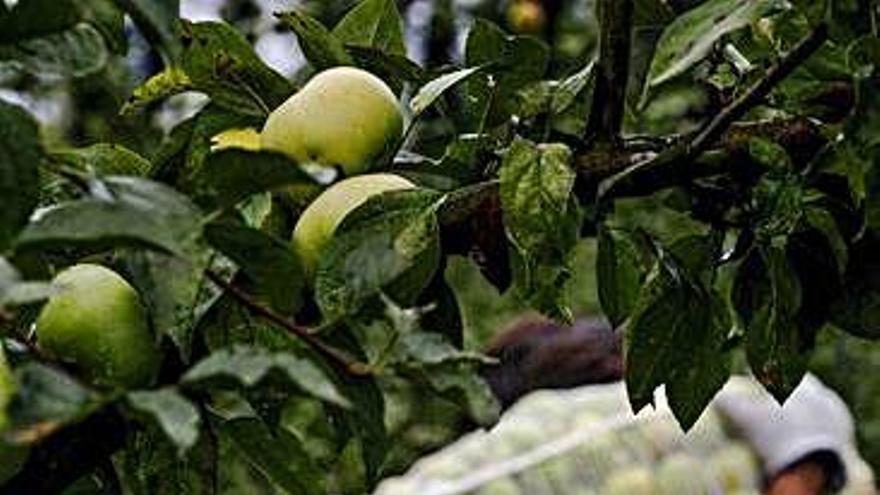 La campaña de manzana sidrera promete