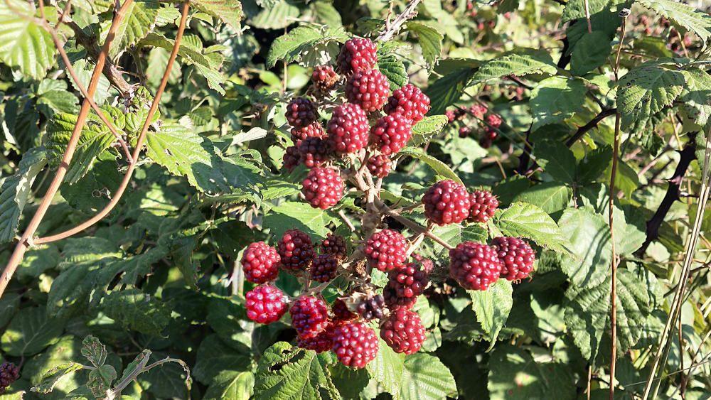 La mora és fruit del l'esbarzer. Es fa servir molt per fer confitures i pastissos.