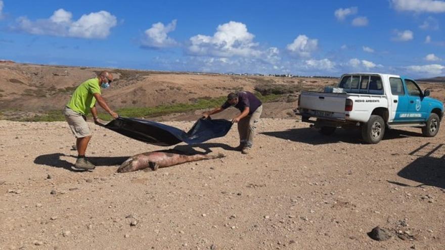 Hallan el cadáver de un delfín mular varado en El Cotillo