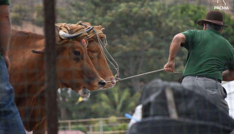 El Pacma presenta una denuncia por presunto maltrato animal en la Gran Final del XXXIII Concurso de Arrastre de la Isla de Gran Canaria