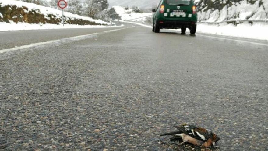 Remolc de furgonetes, retirada de pedres de la carretera i recollida d'ocells morts: la nevada vista pels Agents Rurals