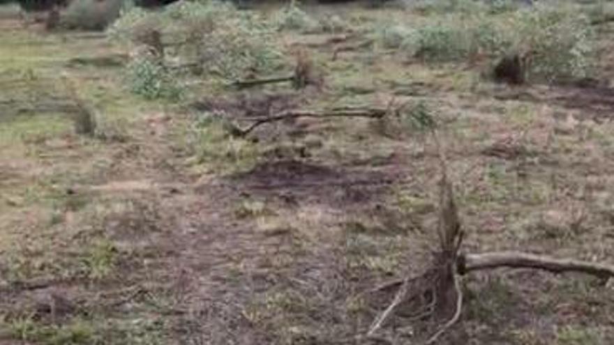 Acusan la poca raíz de olivos que precisaron continuo tratamiento.
