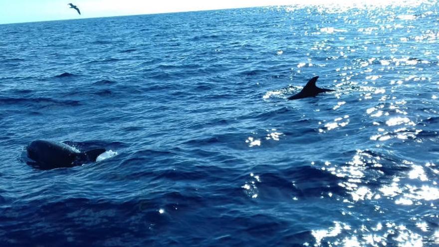 Tenerife, primer Lugar Patrimonio de Ballenas de Europa