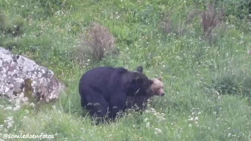 Las insólitas imágenes de dos osos apareándose en Asturias