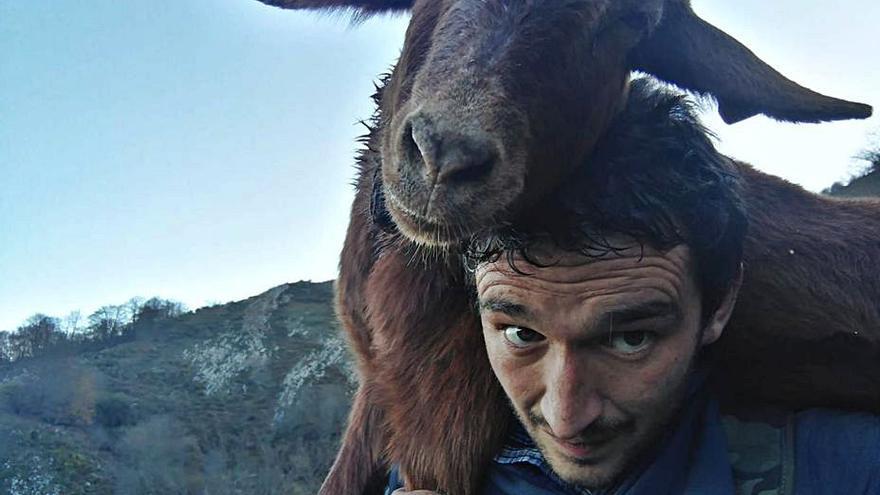 """Cabra """"al llombu"""" durante tres kilómetros en Llanes por los ataques del lobo"""