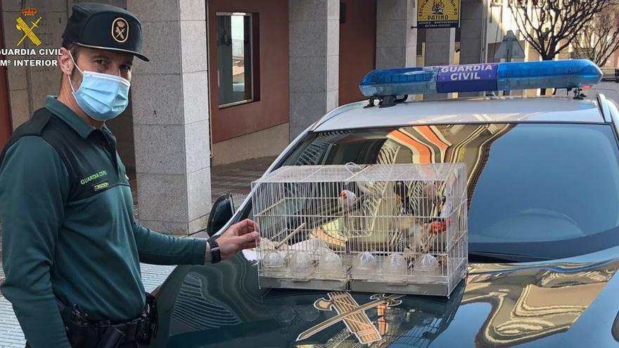 Detenido un moañés por el robo de diez jilgueros y una pareja de canarios