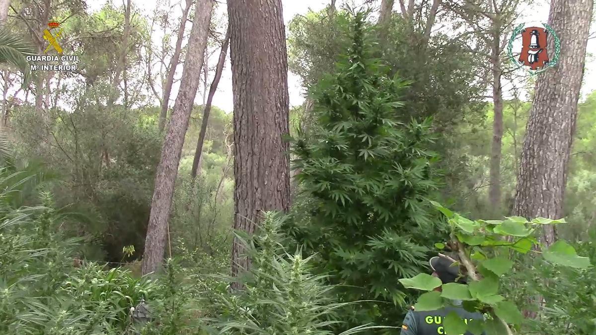 Un guardia civil, junto a una planta de marihuana de cuatro metros de altura.