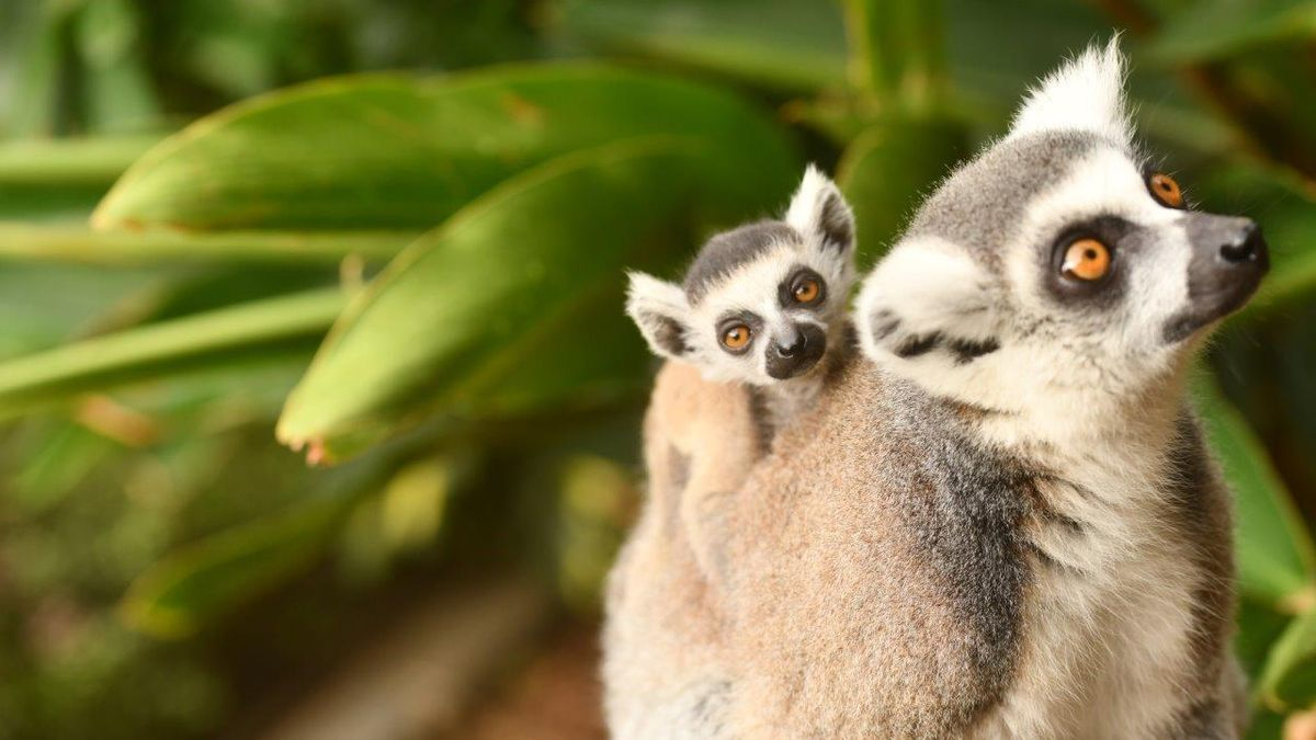La cría de lemur de cola anillada abrazada a su madre en Loro Parque.