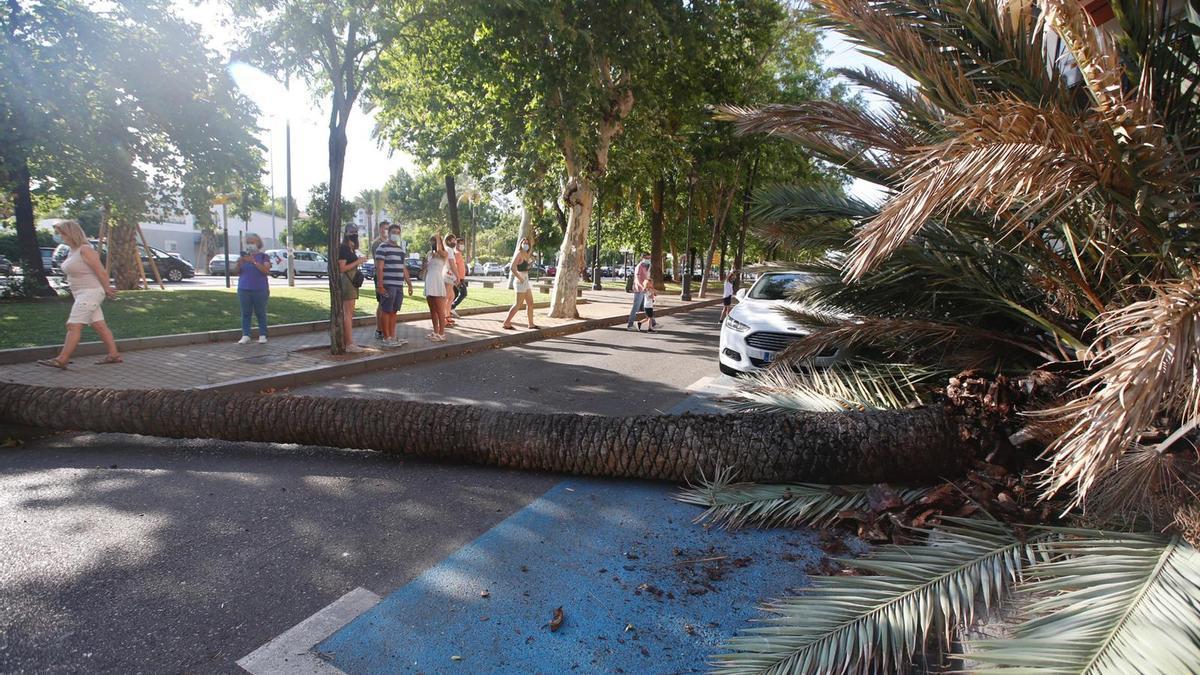 Imagen de la palmera recién caída, antes de la llegada de los bomberos.