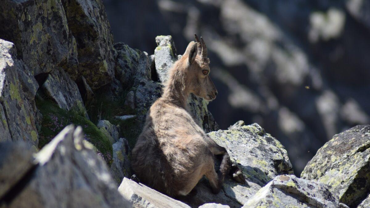 La sarna amenaza la cabaña de cabras hispánicas en la Comunidad Valenciana
