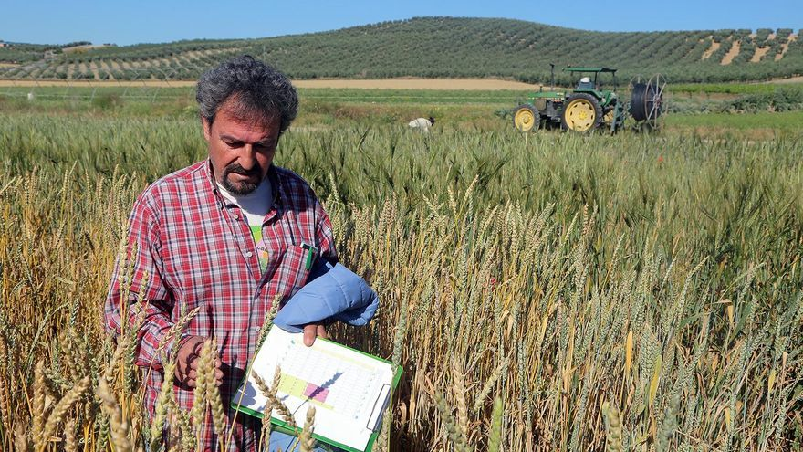 Una iniciativa pionera recupera variedades de trigo autóctonas de la Campiña cordobesa