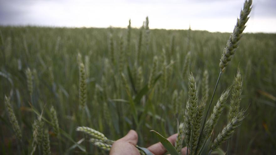 Lonja Agropecuaria de Zamora: los cereales incrementan su precio