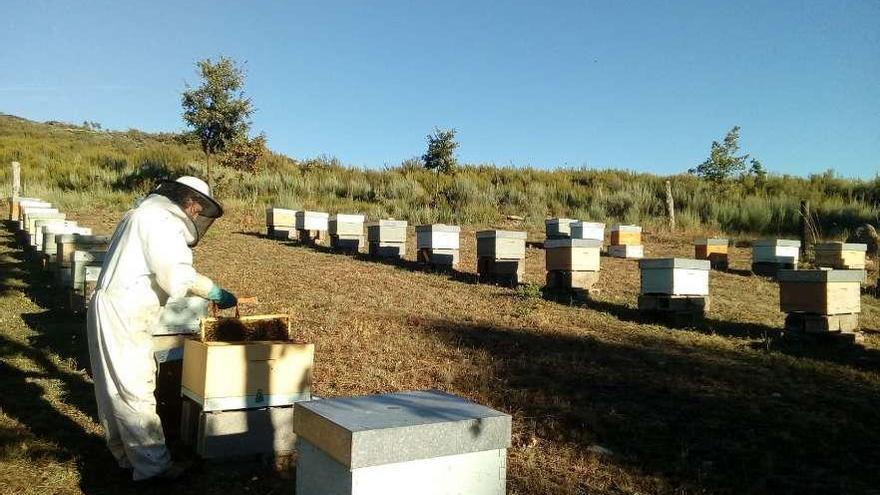 La apicultora María Felipa Nieto durante el manejo de una colmena en la explotación sanabresa.
