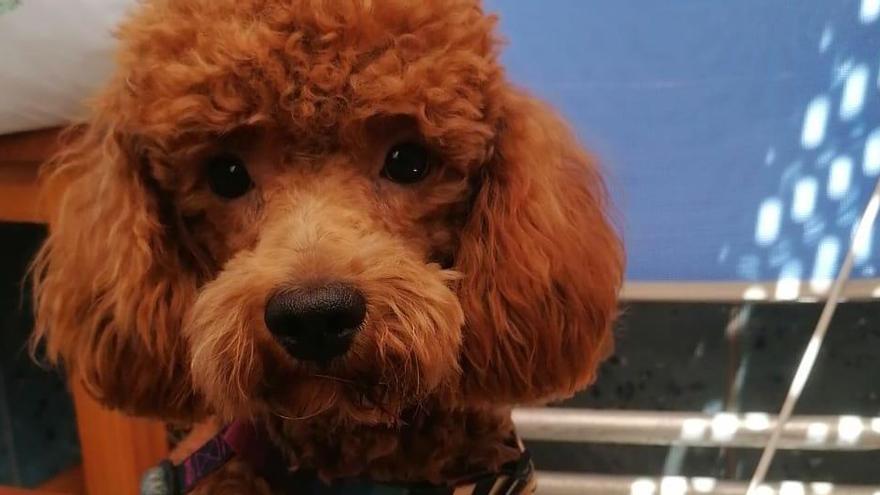 Así es Desil, la perra heroína que ha salvado a una familia de Murcia de un incendio