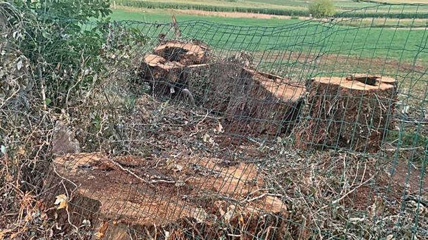El gobierno revisará si la tala del carballo de Xaxán tenía licencia