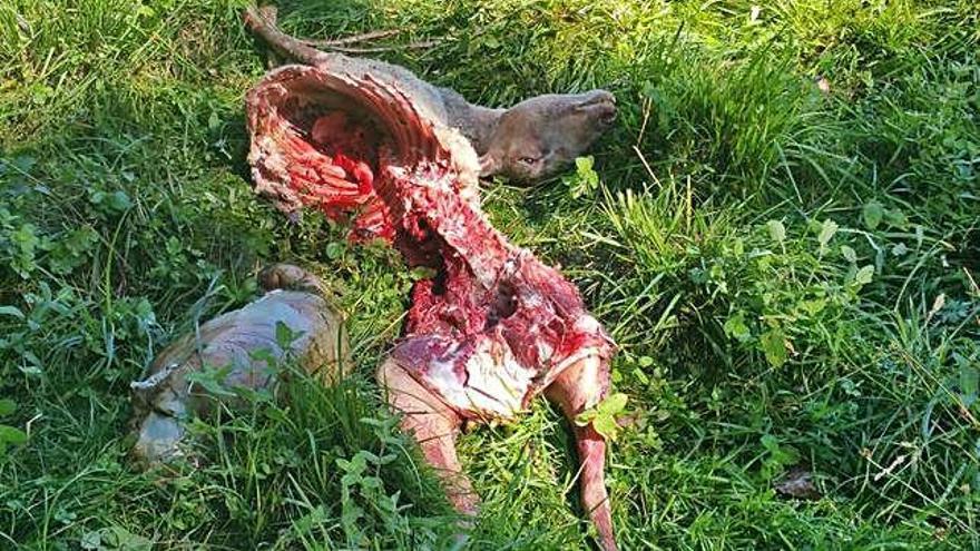 Una oveja comida por los lobos en Galende.