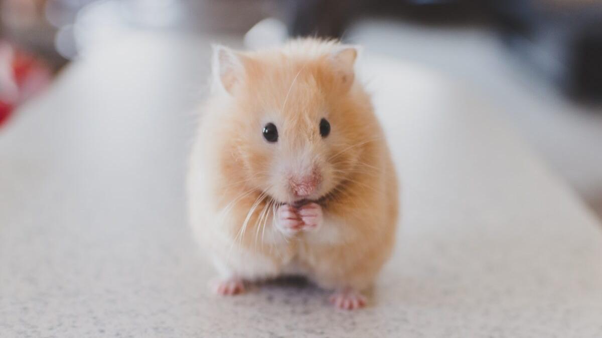 Descubren que algunos mamíferos pueden usar el intestino para respirar