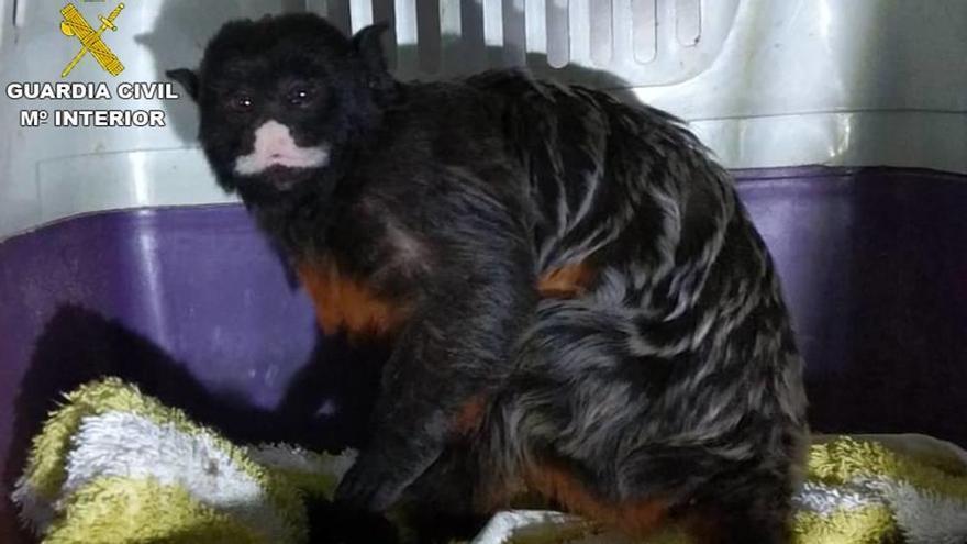 Encuentran un mono deambulando por una urbanización de Calp