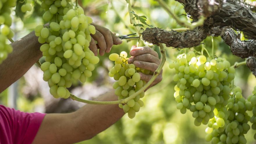 Carrefour prevé comprar un 8% más de uva española y superar las 1.900 toneladas