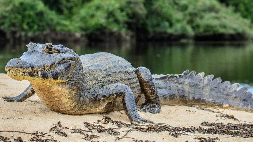 Los caimanes también son capaces de regenerar su cola