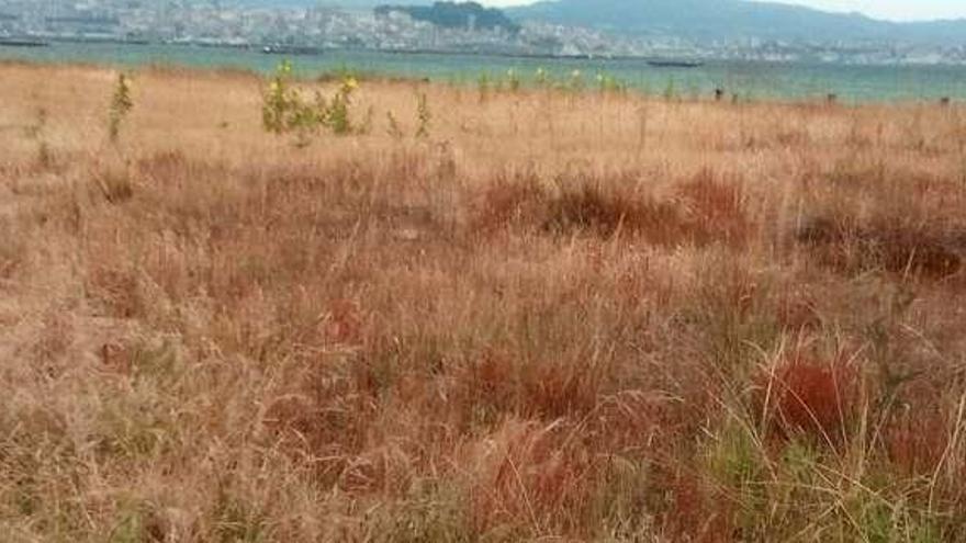 Fervenza critica la falta de eliminación de plantas invasoras en las dunas de A Xunqueira