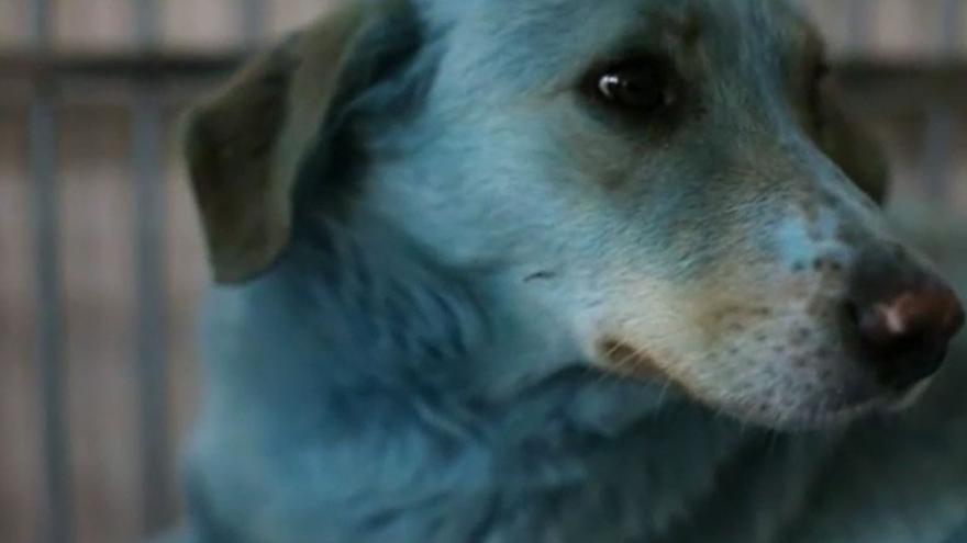 Perros rusos azules, el nuevo misterio viral