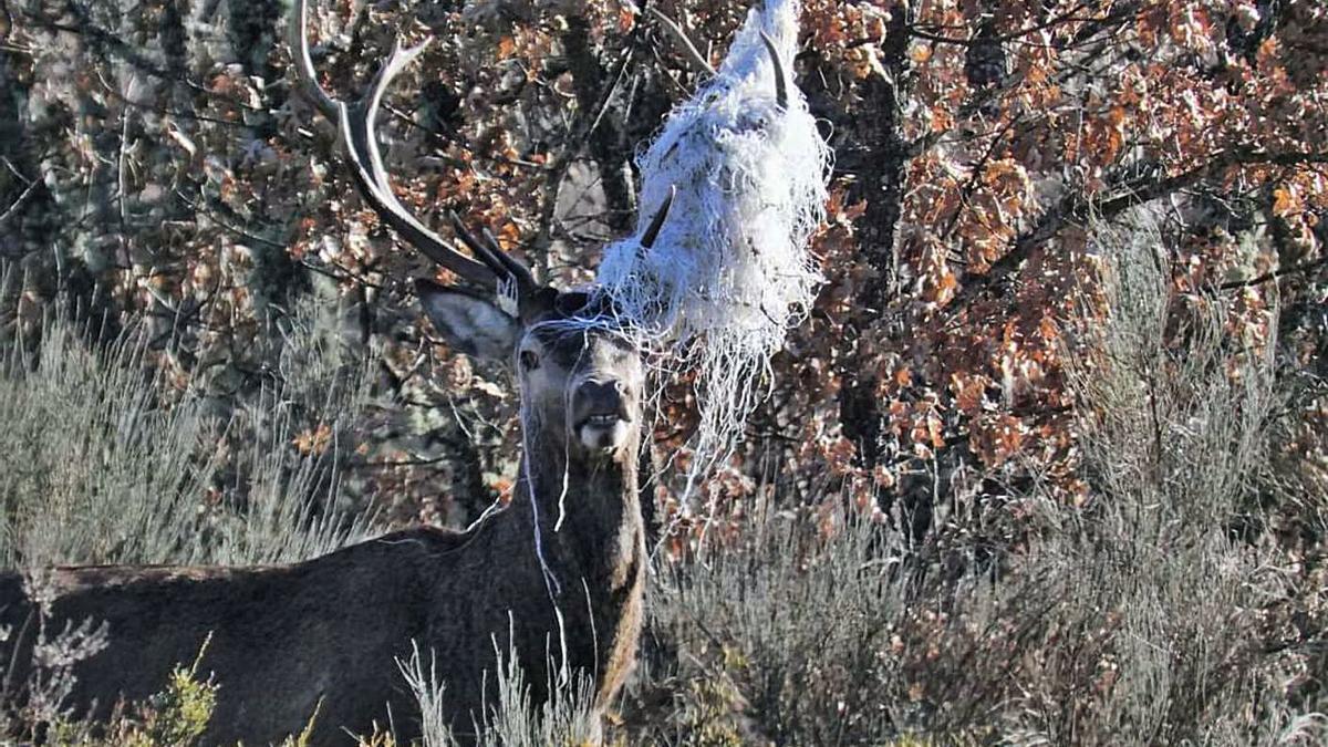 Un ciervo macho adulto con un manojo de fibra enredado en su cornamenta. | Carmen Cerviño Centeno