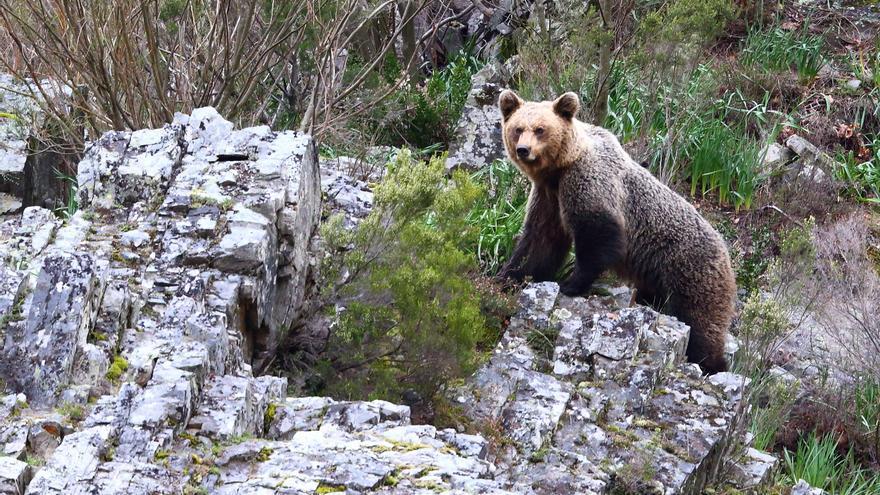 Una carrera por los dominios del oso impulsará la promoción del Suroccidente
