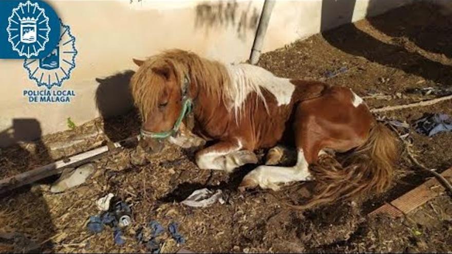 Investigado por el abandono de un poni, seis gallos, uno de ellos mutilado, y un perro