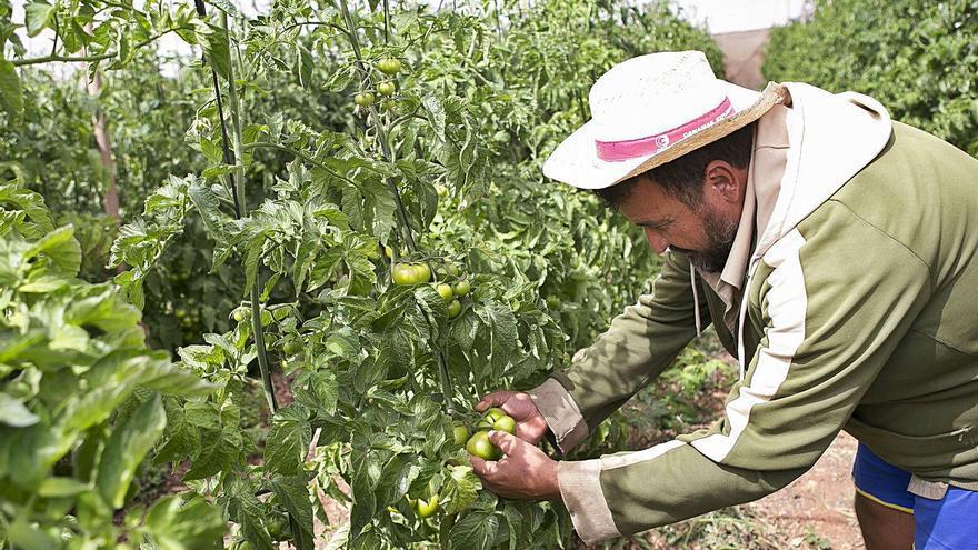Tomateros canarios y europeos se unen contra el pacto  con Marruecos