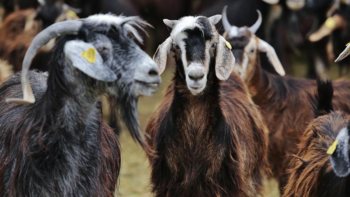 Cabras en una explotación ganadera de La Laguna.
