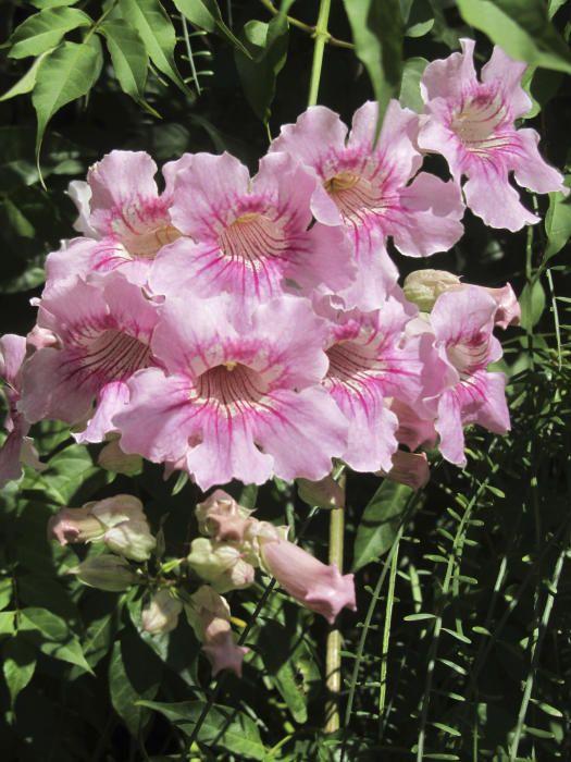 Podranea ricasoliana, enfiladissa caducifòlia de les bignoniàcies, Coneguda com bignònia rosa.