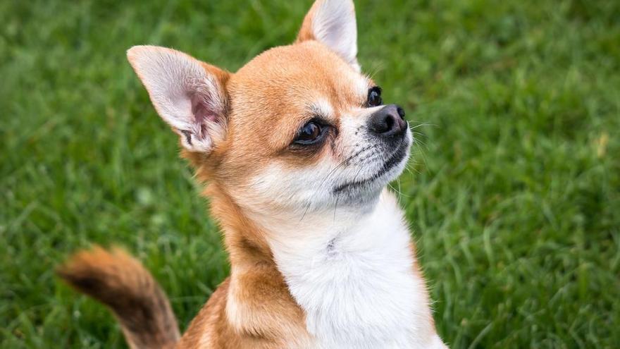 Un perro suelto mata a un chihuahua en Alzira