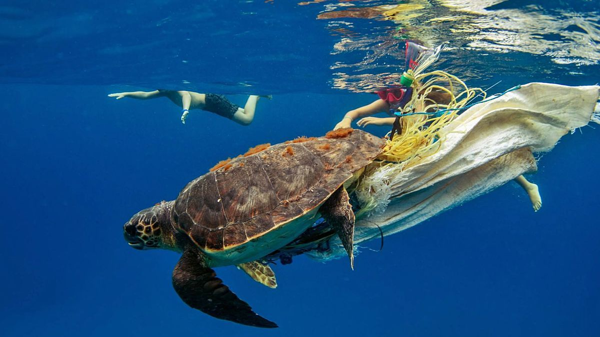 Imagen de una tortuga captada en las aguas pitusas enganchada a una bolsa de plástico.   ASOCIACIÓN VELLMARÍ