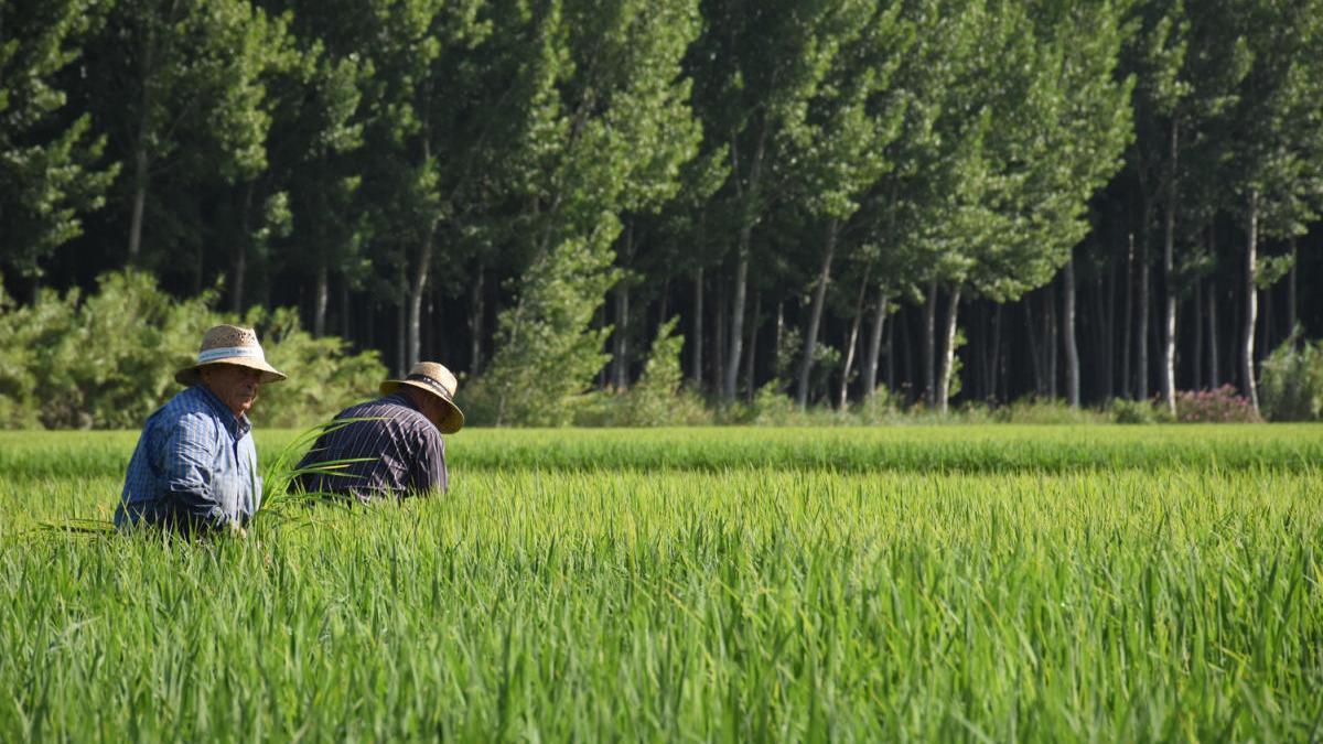 Un campo de arroz en Calasparra