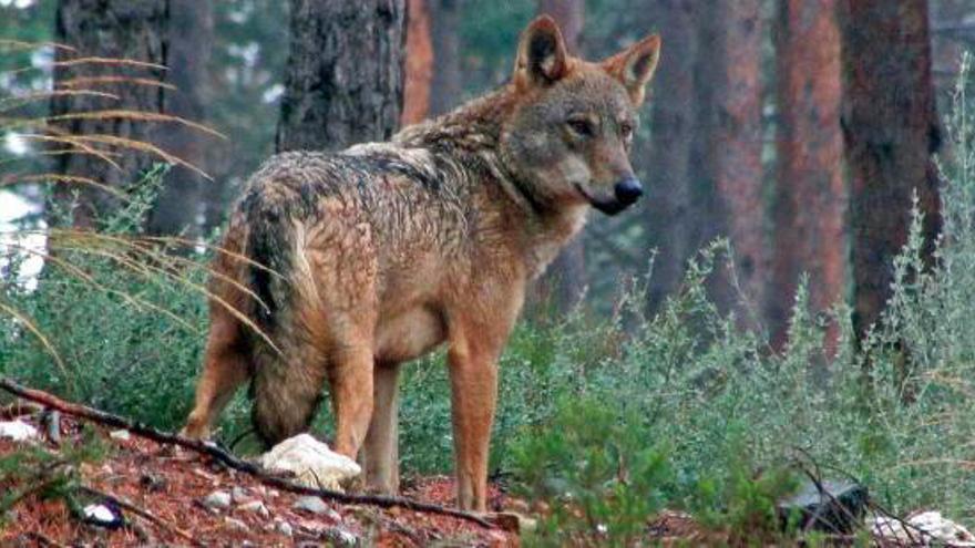 Un ejemplar de lobo ibérico de la Sierra de la Culebra.