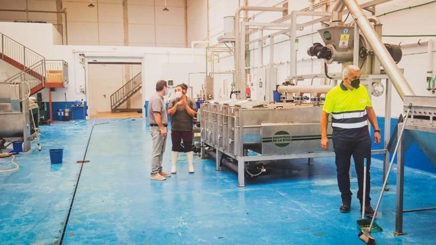 La almazara de Pozo Negro procesará unos 130.000 kilos de aceitunas majoreras