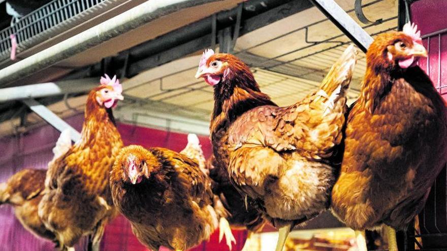 Gallinas sin jaula: La UE acorrala al sector avícola