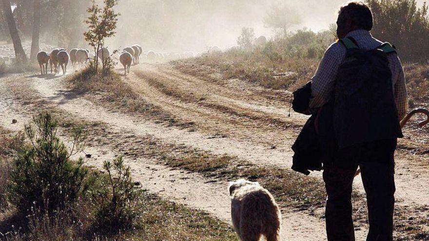 1.400 ovejas trashumantes llegan a Casas de Miravete hoy