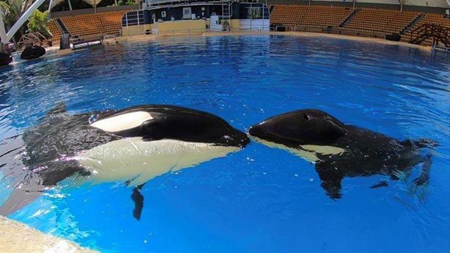 Muere una orca en Loro Parque