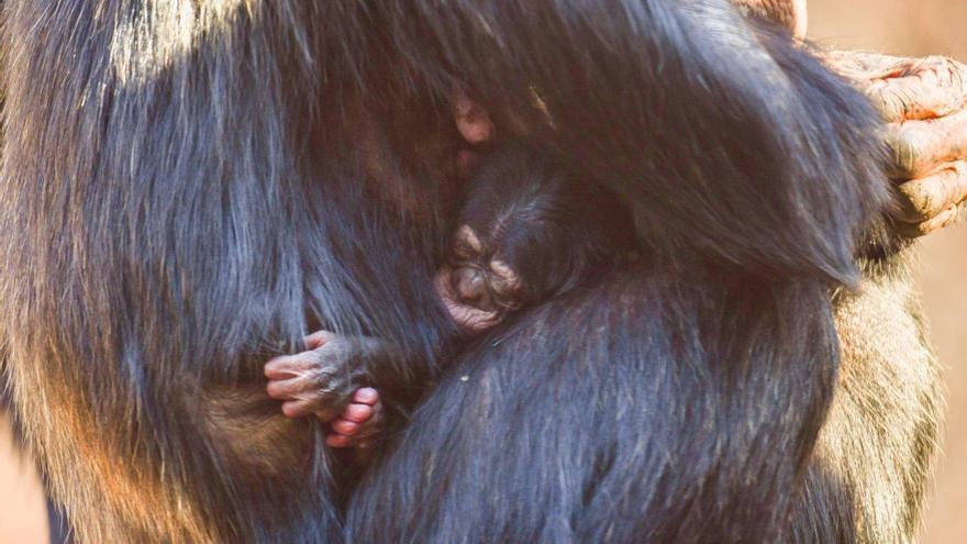 Nace una cría de chimpancé en Canarias
