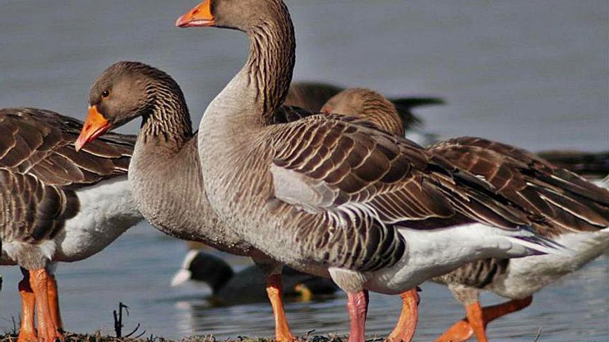 Hallan un ánsar muerto por gripe aviar en las Lagunas de Villafáfila, en Zamora