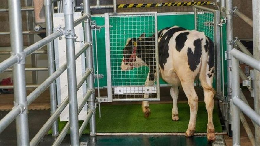 Científicos alemanes enseñan a las vacas a ir al baño para disminuir la contaminación