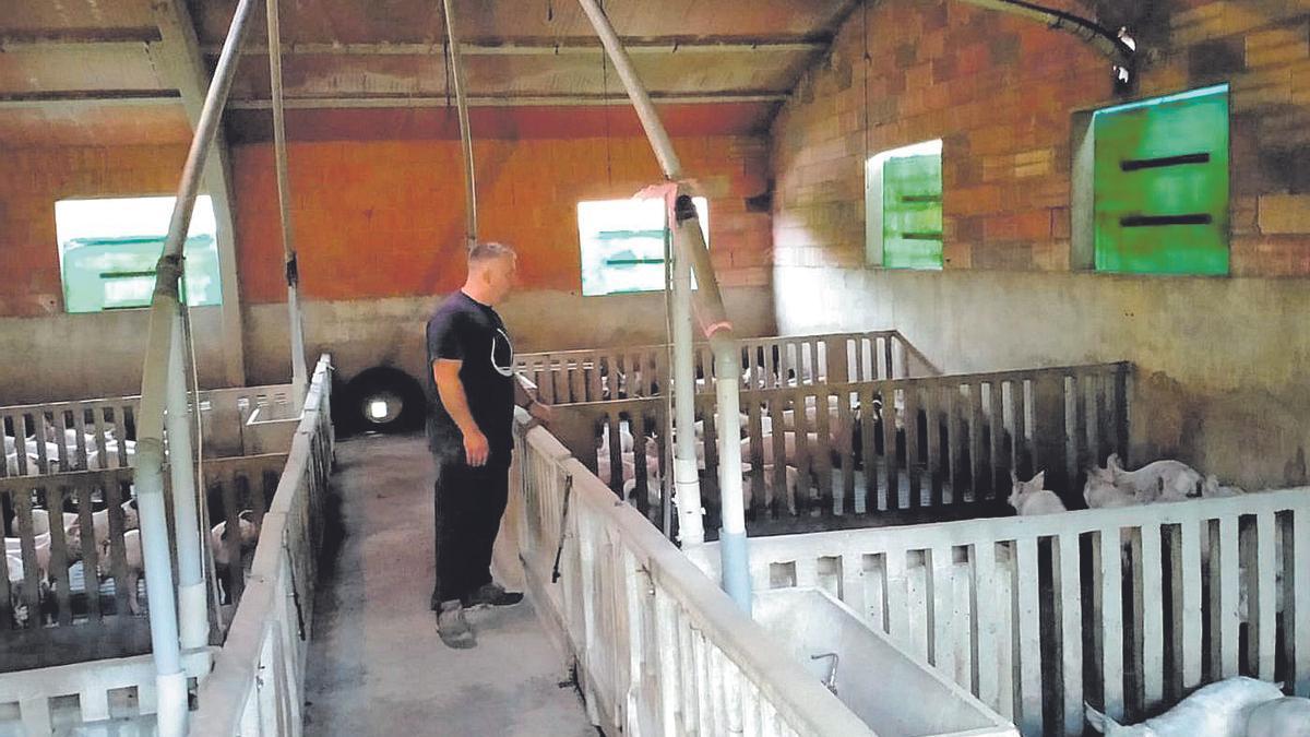 El propietario de una explotación porcina de La Todolella da de comer a los animales.